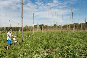 Concours général agricole agroforesterie, 2022. Plantation de houblon, ferme des Clos, Bonnelles (Yvelines)